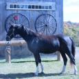 KWPN Royal Dutch Sport Horse Registered